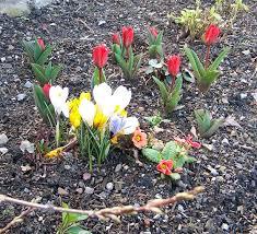 spring flower bulbs u2013 flower gardening with spring bulbs