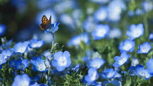 butterfly flowers desktop wallpaper butterfly flowers forget me
