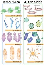 asexual vs sexual reproduction ck 12 foundation