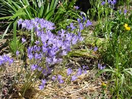 california native plant garden design triteleia laxa native california bulbs for spring dormant in