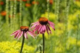 Echinacea Flower Free Photo Echinacea Echinacea Purpurea Flower Sun Hat Max Pixel