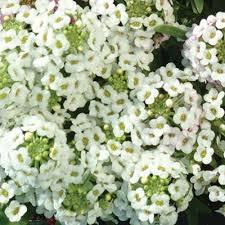alyssum flowers alyssum clear crystals white harris seeds