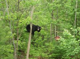 black bears and backyard food conflicts effective wildlife solutions