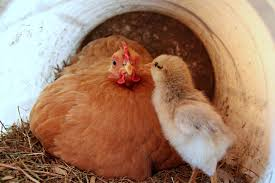 mother hen and free stock photo public domain pictures