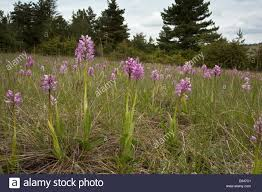 Monkey Orchids Mixed Population Of Monkey Orchids And Military Orchids And