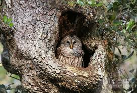 barred owl in cavity photograph by myrna bradshaw