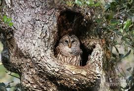barred owl in cavity photograph by myrna bradshaw