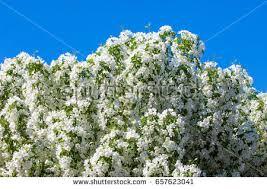 Cottonwood Tree Flowers - cottonwood tree stock photo 942786 shutterstock
