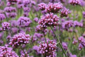 verbena flower annual vs perennial verbena how does verbena last in the