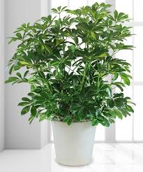 funeral plants sympathy potted plants funeral arrangements the plant gallery