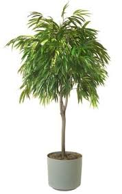 house plants no light dracaena fragrans massangea cane low light plants for the house