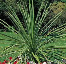Low Light Outdoor Plants How To Grow Dracaena Plants Garden Harvest Supply Good To Know