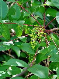 Poison Ivy U0026 Poison Sumac Trekohio