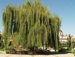 willow tree urdu translation and meaning the urdu dictionary