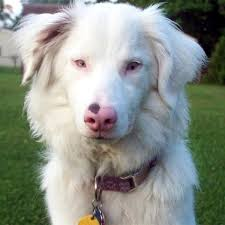 australian shepherd wolf the difference between albino dogs and white dogs