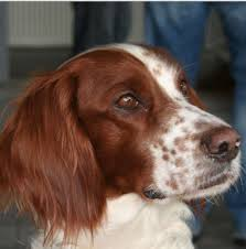 types of setter dog breeds type of setter dogs daily dog discoveries