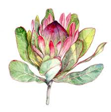 Protea Flower South Africa - il fullxfull 764592386 ic5q jpg 1497 1500 watercolor
