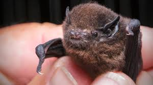 new zealand long tailed bat native animal conservation