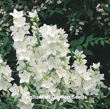 85 best campanula images on pinterest flowers garden flower