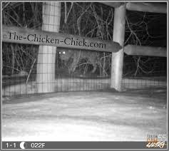 types of backyard chickens the chicken 11 tips for predator proofing chickens