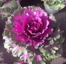 ornamental kale plant how to grow ornamental kale plant in color