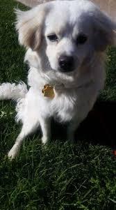 american eskimo dog adoption bedminster nj pekingese american eskimo dog mix meet tippy a