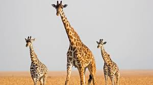 giraffe genome reveals clues to sky scraping height science aaas