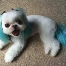 shichon haircuts lucky dog grooming 100 photos 94 reviews pet groomers 6832