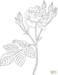 communis or common moss or old pink moss rose coloring page free