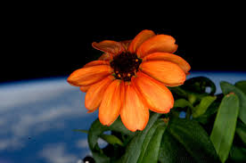 first flower grown in space or not zinnia blooms aboard space