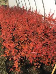 buy acer palmatum wildfire coral bark winter interest japanese