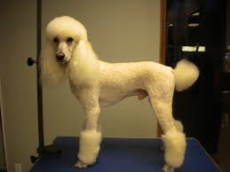 mister got another haircut poodle forum standard poodle