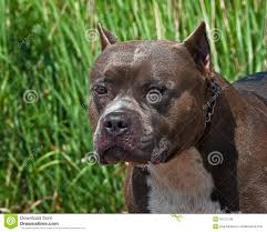 american pitbull terrier merchandise american pitbull terrier portrait of the head stock photo image