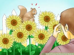 how to protect sunflowers from squirrels 13 steps with pictures