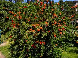 pomegranate tree to replace the one that came and seperate