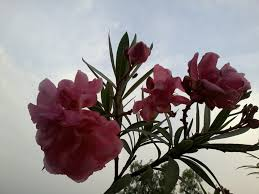6 flowering shrubs of india that are not eaten by cattle