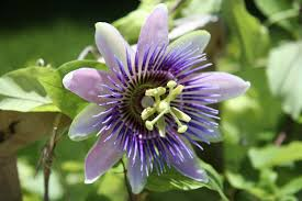 passion flower care tips for growing passion flowers