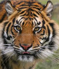 tiger close up wallpaper wall mural wallsauce usa save your design for later