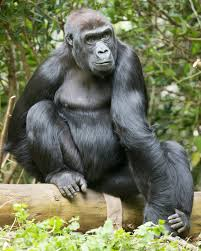 woodland park zoo blog celebrate world gorilla day with a