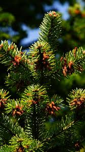 green pines hd wallpaper for your mobile phone