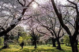 Cherry Blossom Tree Facts by The Facts About Japan U0027s Cherry Blossom Festivals