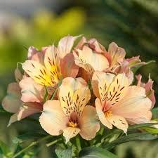 peruvian lilies inca peruvian hill nurseries