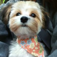 shorkie hair styles ideas about morkie hairstyles cute hairstyles for girls
