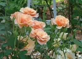 rose garden design tips hgtv