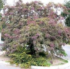 34 best plants trees images on japanese maple small