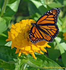 florida native butterfly plants butterfly plants list butterfly flowers and host plant ideas
