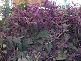 House Plants Diseases - gynura aurantiaca flower gardening annuals pinterest plants