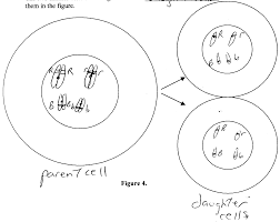 Mitosis Worksheet Phases Of The Cell Cycle Sc 290 Human Genetics