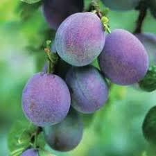 Blackmoor Fruit Trees - fig brown turkey blackmoor nurseries beautiful plants