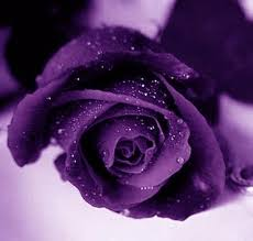 purple roses purple images purple roses wallpaper and background photos 21933067